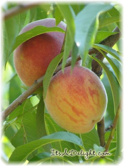 Peaches! - It's A Delight.com